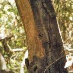 Nuttal's Woodpecker baby