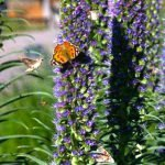 Sphinx moth, bees, ladybug and Painted Lady butterfly on a pride of Madeira