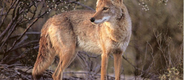 How to Change Coyote Trapping Practices