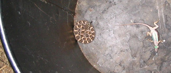 Some Truths about Rattlesnakes (and myth debunking…..)