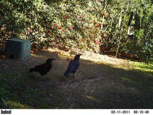 A pair of ravens