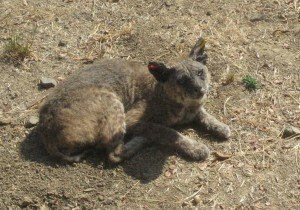 Same Bobcat with Mange - One Year Later