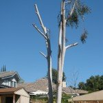 """Incorrectly """"topped""""  pruned tree that ended up being removed"""