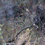 American goldfinch on artemisia