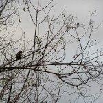 Elderberry - good cover shrub