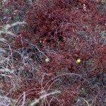Buckwheat (great habitat plant) & goldfinches