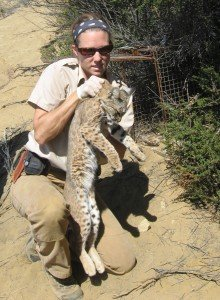 Bobcat with high AR level despite 2 mile location away from urban development
