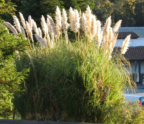 Desert Broom is highly invasive