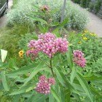 Swamp milkweed, a volunteer in a dry area (not swampy...)