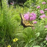 didn't see swallowtails in the muddle but they were flitting about
