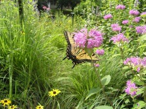 Tiger Swallowtail on Bee-Balm - our Sycamore trees are a host plant