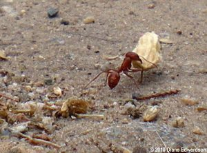 California harvester ant (Diane Edwardson photo) - carrying a wild radish seed