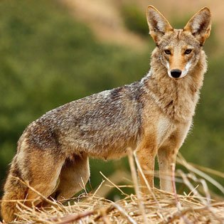Coyote (Project Coyote photo)