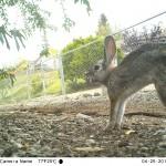 Yawning, stretching rabbit