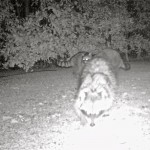 Documenting the raccoons that we've noticed are digging up some soil around our property