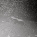 This skunk probably doesn't need a caption