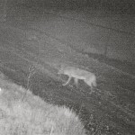 One of two coyotes we've captured on camera in our alley