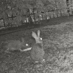 I threw a corncob from Halloween decorations & our wildcam captured who was eating it