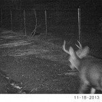 The buck going down the alley, where we've seen the doe the last couple weeks