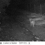 small coyote
