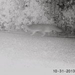 grey fox (we also have a native weasel)