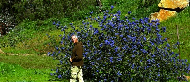 Favorite Native Plants: Ceanothus (Wild lilac)
