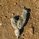 Coyote scat shows rabbits are a favorite