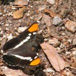 The California Sister is common in oak woodlands near streams. I squirted some water on the soil and several a