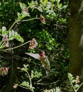 Anna's hummingbird on a lupine plant in the San Bernardino National Forest