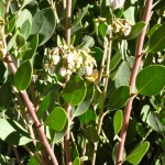Our manzanitas (La Panza here) provide important nectar for bees & hummers in January