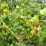Our ribes aureum (native golden currant) is doing well its 3rd year, birds love the berries