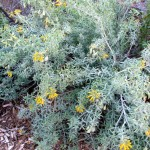 Bladderpod blooms nearly year-round (Caroline Park, Redlands)