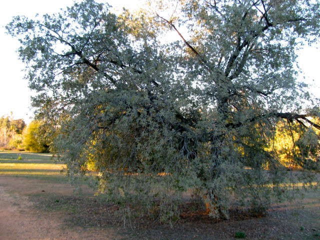 Engelmann Oaks appear to be immune to the GSOB