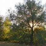 Live Oak in Caroline Park