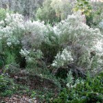 Coyote bush provides bees important nectar in the winter months