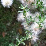 Coyote bush close-up