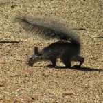 one of our 'skunktail' squirrels. The momma and it's offspring all carry their tails this way