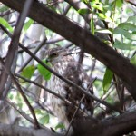 Cooper's Hawk camoflauged in our yard