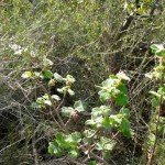 Currant leaves poking through last year's dried chaparral
