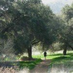 Mature live oaks dot the park