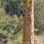 Acorn woodpeckers have claimed this telephone pole