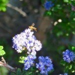 native bee (or wasp) on our Dark Star Ceanothus