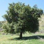 healthy native oak