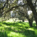 Under the oak canopy