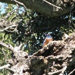 Bluebird perching in dead snag