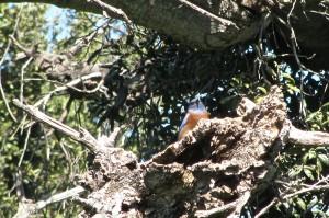 Bluebird perching in dead snag