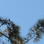 Birds love the seeds and shelter in the she-oak (causarina)