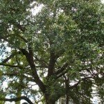 We get the benefits of our neighbor's old live oak