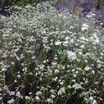 one of my favorite native plants - buckwheat