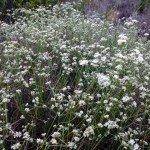 one of my favorite native plants - buckwheat